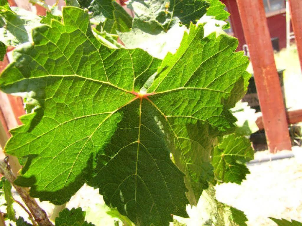Grape leaves for the skin 3 - نحوه درست کردن ماسک برگ مو و خاصیت های فوق العاده آن