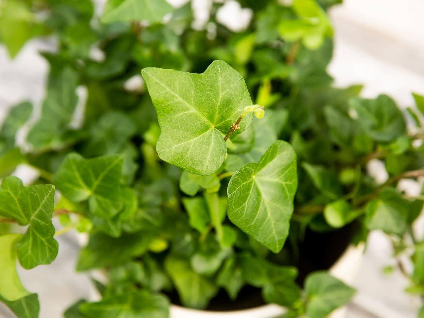 Planting English ivy 5 - کاشت پیچک انگلیسی و شرایط مورد نیاز برای رشد آن