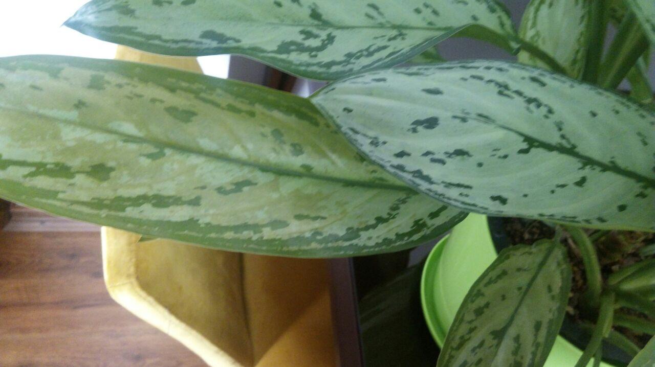 Singapore Flower Care 5 - نگهداری از گل سنگاپوری و شرایط رشد و تکثیر این گیاه