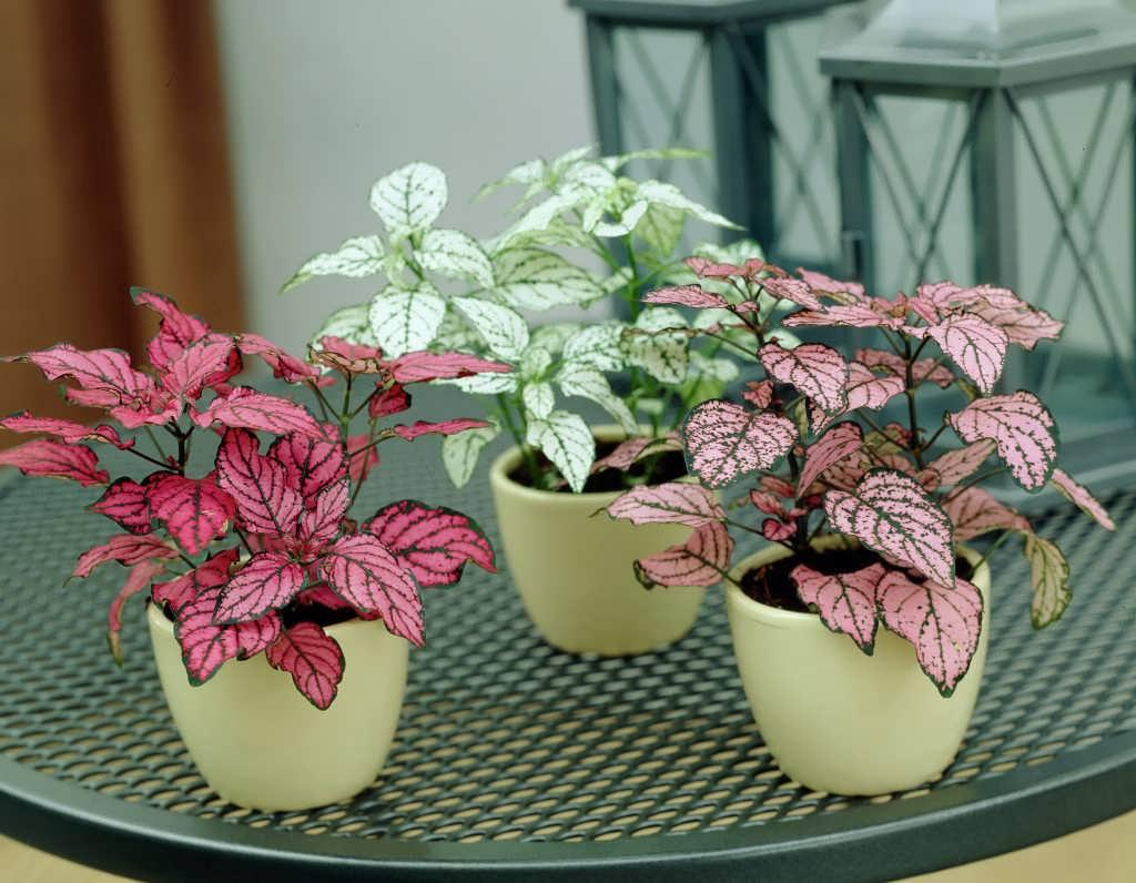 Hypostate plant breeding 3 - آشنایی با نحوه پرورش گل خال صورتی ( گیاه هیپوستس)